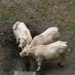 Charolais-Rinder bei Chaumont