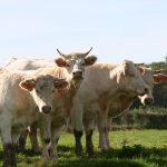 Charolais-Rinder – eine hochwertige Fleischrasse