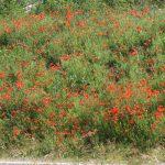 Mohnblumen im Nièvre
