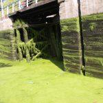 Algae on «La Deûle»