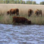 Schottische Hochlandrinder in holländischer Heide
