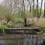 Uralte Weidenlandschaft im Biesbosch (NL)