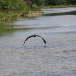 Fischreiher (Canal de Briare)