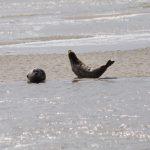 Robben in der Baie de Somme bei Saint-Valery-sur-Somme