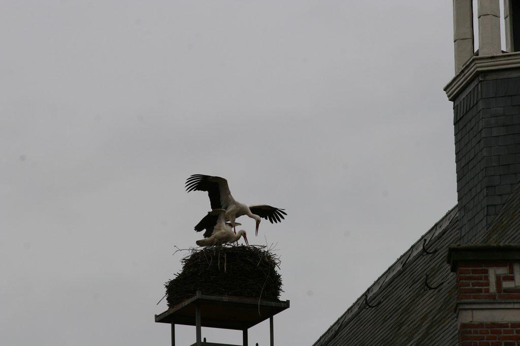 Es ist echt: Das Storchenpaar auf dem Rathaus von Oudewater