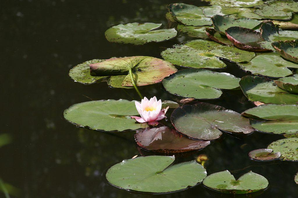 Seerose im Seerosenteich in Monets Garten...