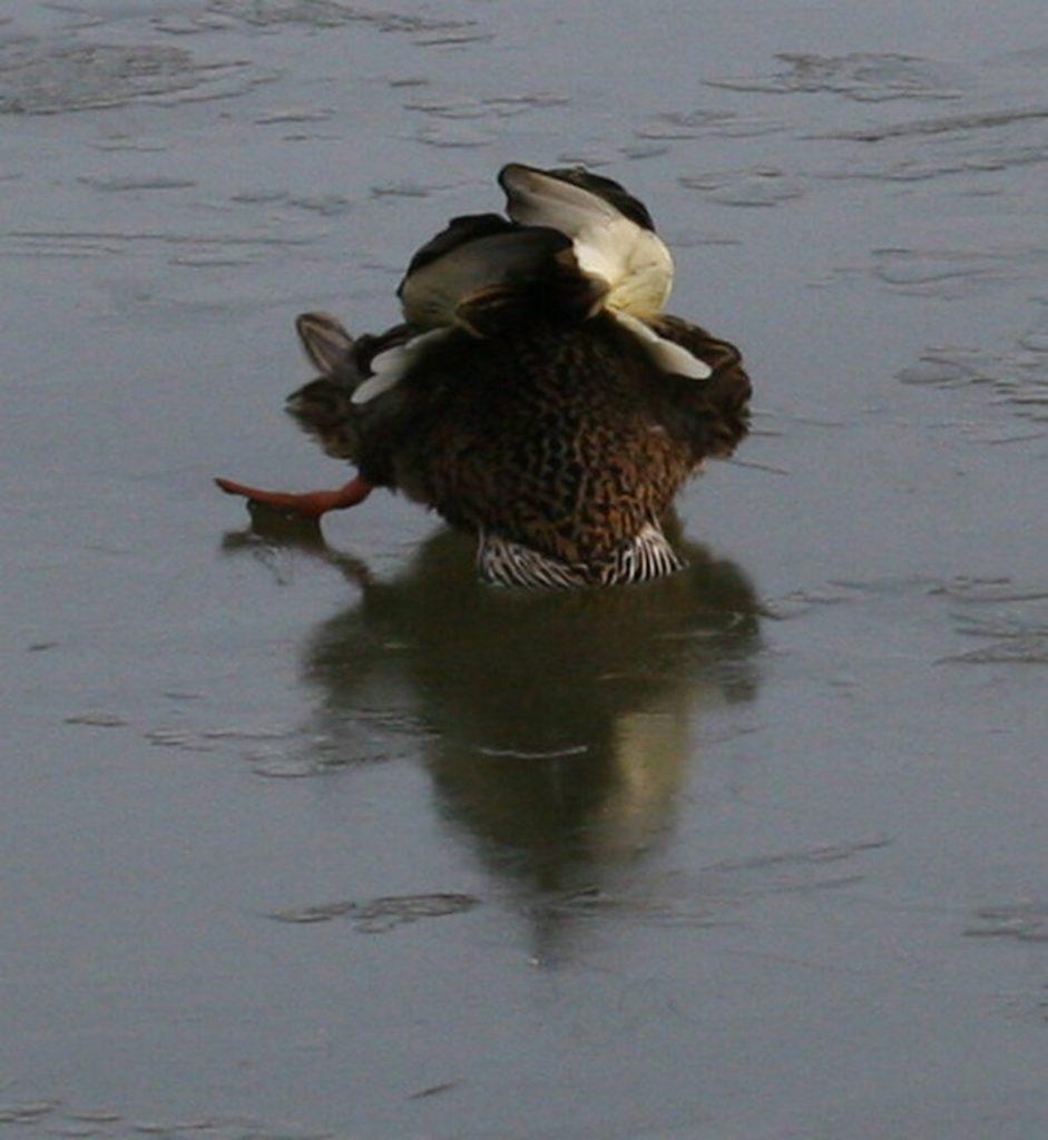 Landungsversuch einer Ente auf dem Eis