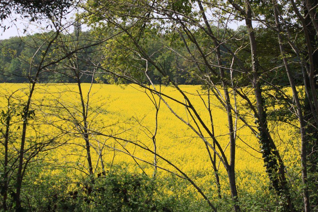 Das intensive Gelb der Rapsfelder