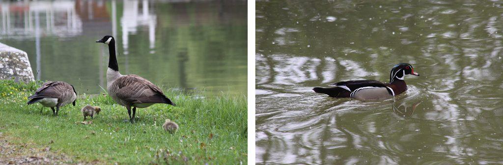 Wildgänse und eine hübsche Ente am Étang de la Gazonne