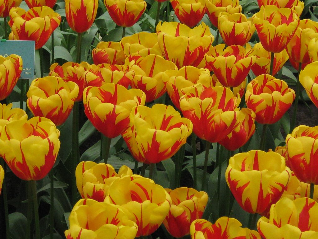 Die Tulpe «Hollands Glorie» im Keukenhof