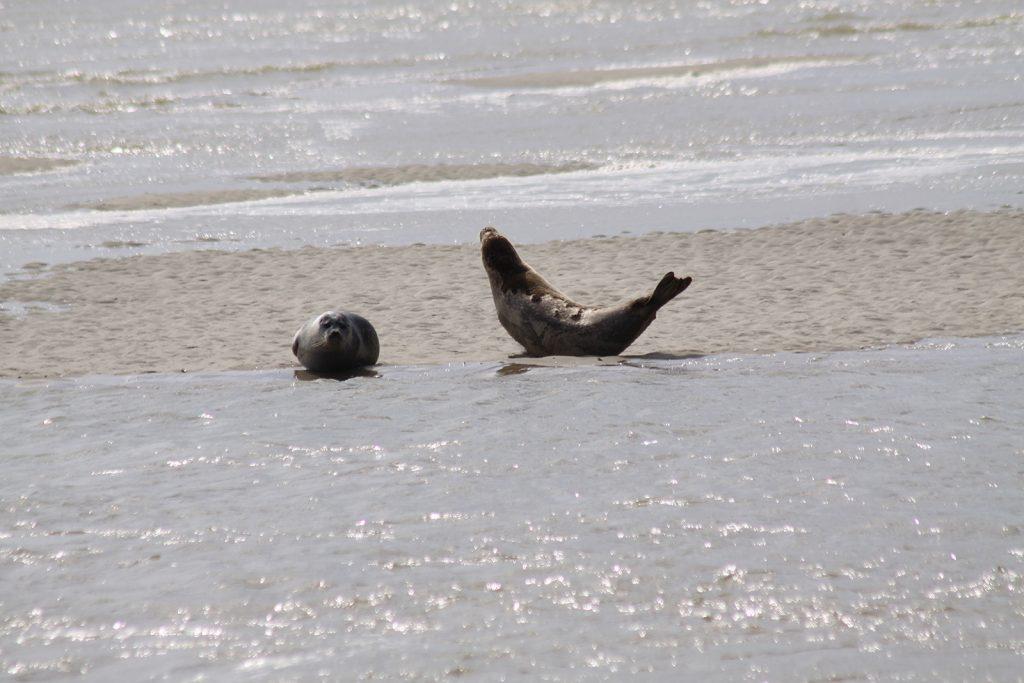 Robben in der Baie de Somme
