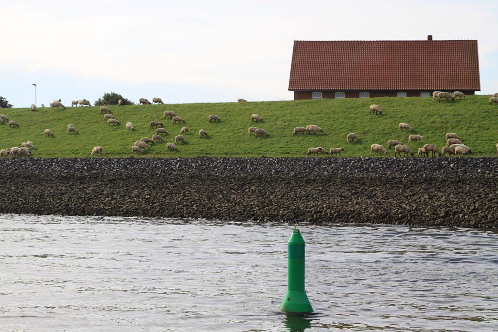 Schafe auf dem Elbdeich